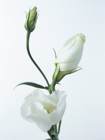 http://cache2.allpostersimages.com/p/LRG/21/2149/AF3CD00Z/plakater/bucknall-pearl-close-up-of-eustoma-russellanium-kyoto-pure-white-flower-and-buds-on-a-white-background.jpg