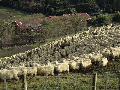Sheep Penned for Shearing, Tautane Station, North Island, New Zealand Photographie