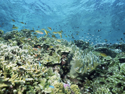Shallow Top of the Reef is Nursery for Young Fish, Sabah, Malaysia, Southeast Asia Photographic Print by Lousie Murray