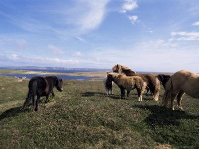 Groups of Shetland Ponies Graze the Moors of Yell, Shetlands, Scotland, United Kingdom Photographic Print by Lousie Murray