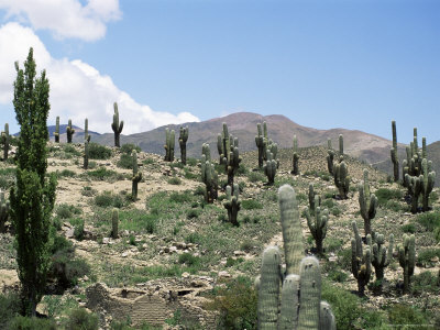 Cardones Growing in the Altiplano Desert Near Tilcara, Jujuy, Argentina, South America Photographic Print by Lousie Murray