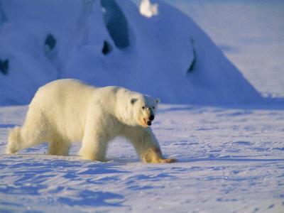 Male Polar Bear(Ursus Maritimus) in Spring, Svalbard/Spitsbergen, Arctic Photographic Print by Lousie Murray