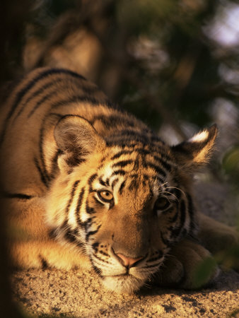 Indo Chinese Tiger Cub, Panthera Tigris Corbetti, Tiger Sanctuary for Confiscated Animals, Thailand Photographic Print by Lousie Murray