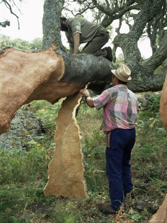 Old Cork Oak is Stripped, Sardinia, Italy Photographic Print