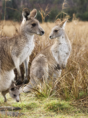 Eastern Grey Kangaroos, Kosciuszko National Park, New South Wales, Australia Photographic Print