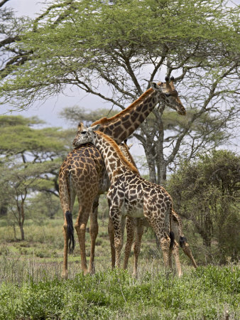 Masai Giraffe Mother and Young, Serengeti National Park, Tanzania, Africa Photographic Print by James Hager