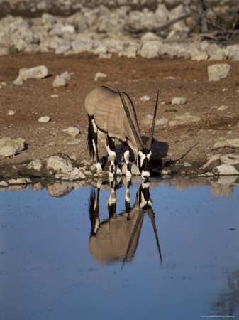 Oryx at Waterhole, Namibia, Africa Photographic Print by I Vanderharst