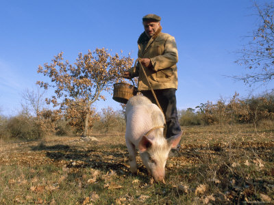Truffle Producer with Pig Searching for Truffles in January, Quercy Region, France Photographic Print by Adam Tall
