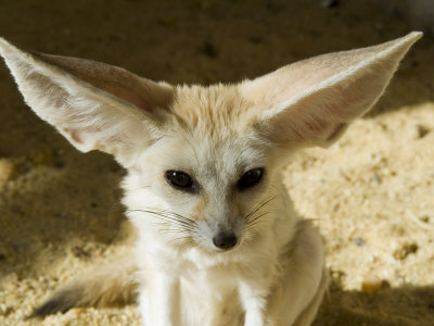 Fennec (Desert Fox) Photographic Print by Nico Tondini at AllPosters.