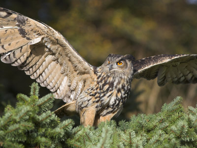 European Eagle Owl, Bubo Bubo, Female, Captive, World Owl Trust, Muncaster Castle, Cumbria Photographie