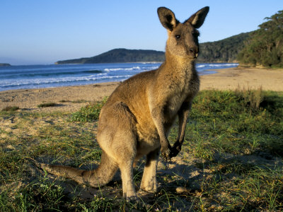 Eastern Grey Kangaroo on Beach, Murramarang National Park, New South Wales, Australia Photographie