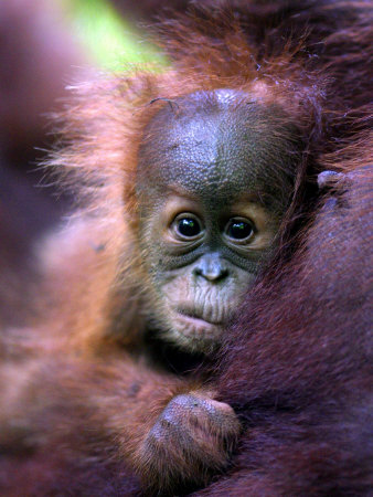 Baby Oragutan Nestled in Arms of Mother, Gunung Leuser National Park, Indonesia Photographie