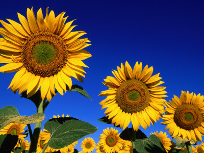 Detail of Sunflowers, Tuscany, Italy Photographic Print by John Elk III