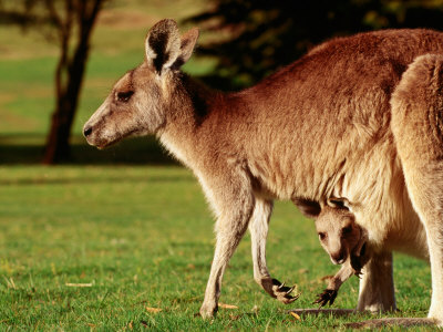 Kangaroo and Joey on Bellarine Peninsula, Barwon Heads, Victoria, Australia Photographic Print by John Banagan