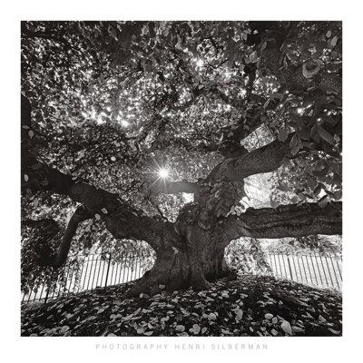 Under Camperdown Elm, Prospect Park Posters by Henri Silberman