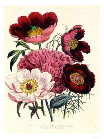 Paeonia Edulis, c.1800 Lámina giclée