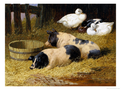 Pictures Of Pigs To Print. Saddleback Pigs and Ducks in a