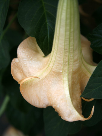 Trumpet Flower Single II Photo by Nicole Katano