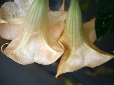 Trumpet Flowers Double Photo by Nicole Katano