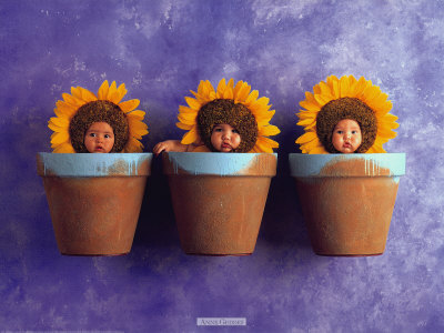 Sunflower Trio Print by Anne Geddes at AllPosters.