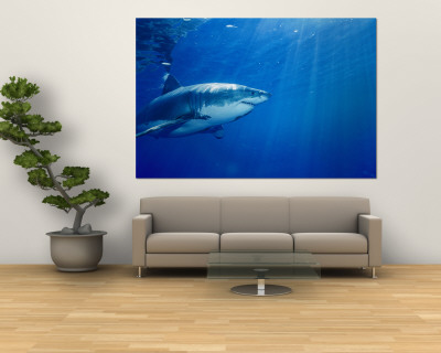 great white shark wallpaper. Great White Shark Wall Mural