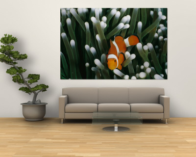 A Close-View Image of a False Clown Anemonefish (Amphiprion Ocellaris) Wall Mural by Wolcott Henry