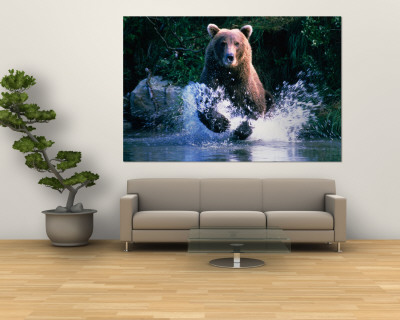Grizzly courant dans Kinak Bay, Parc national de Katmai, Etats-Unis Reproduction murale géante