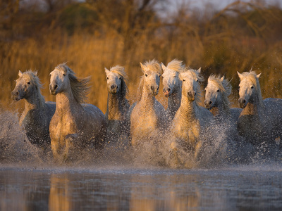 White Camargue Horse Running in Water, Provence, France Photographic Print