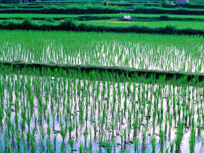 Wet Rice Cultivation: August 2011