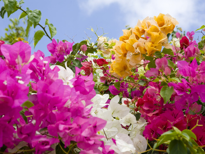Bougainvillea, Cayman Brac, Cayman Islands, Caribbean Photographic Print
