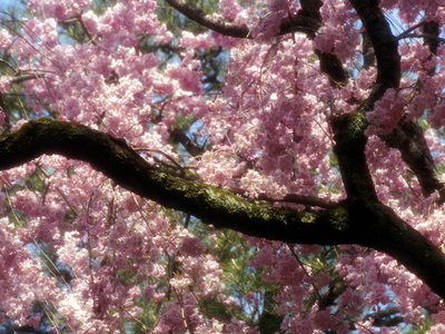 Cherry Blossom Tree in Bloom, Tokyo, Japan Photographic Print by Nancy & Steve Ross