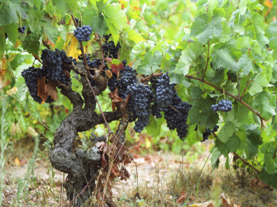 Ripe Grapes in the Vineyard, Domaine Pech-Redon, Coteaux Du Languedoc La Clape Photographic Print