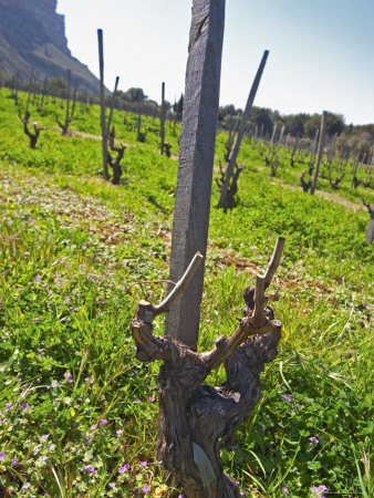 Vineyard Below the Cassis Cliff, Vines Pruned in Gobelet Training, Clos Ste Magdeleine Photographic Print