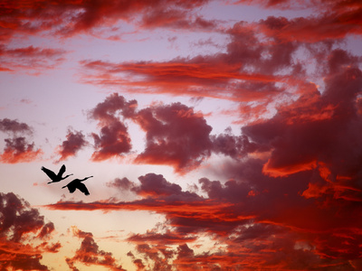 Silhouette of Roseate Spoonbills in Flight at Sunset, Tampa Bay, Florida, USA Photographic Print
