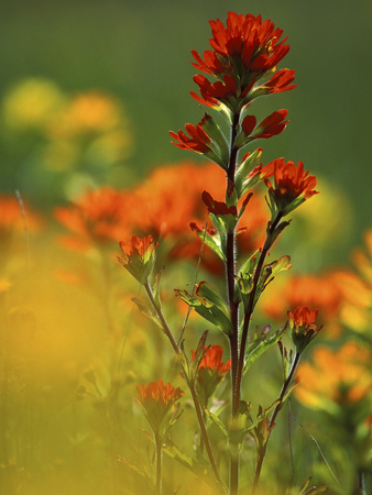 Red Indian Paintbrush Flower in Springtime, Nature Conservancy Property, Maxton Plains Fotografie-Druck