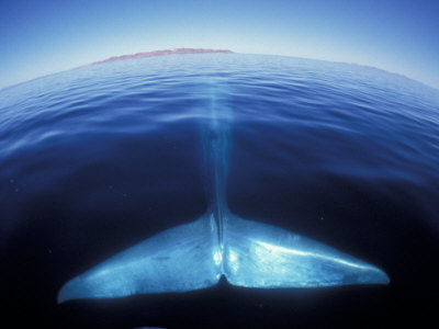 Blue Whale Tail, Baja, California, USA Photographic Print by Amos Nachoum