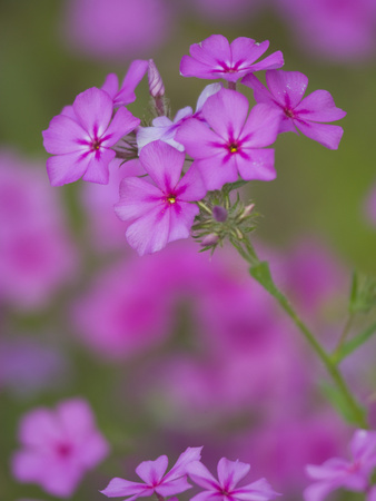 Phlox in Bloom Near Devine, Texas, USA Photographie