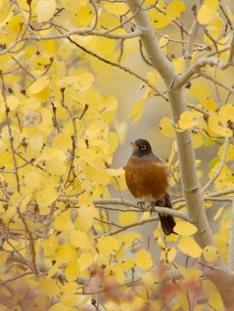 Male American Robin in Aspen Tree, Grand Teton National Park, Wyoming, USA Stampa fotografica di Rolf Nussbaumer