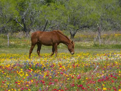 Quarter Horse in Wildflower Field Near Cuero, Texas, USA Photographic Print by Darrell Gulin