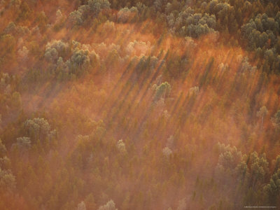 Eastern White Pines Form Shadows Through Morning Fog, Minnesota, USA Photographic Print