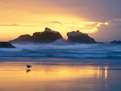Beach at Sunset with Sea Stacks and Gull, Bandon, Oregon, USA Photographic Print by Nancy Rotenberg