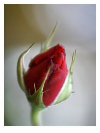Cranberry Rosebud Photo by Nicole Katano