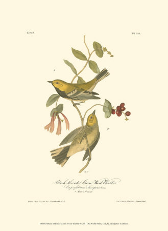 Black-Throated Green Wood Warbler Posters by John James Audubon