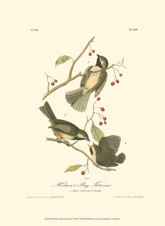 Hudson's Bay Titmouse Art Print