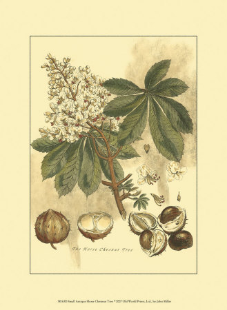 Antique Horse Chestnut Tree Art Print