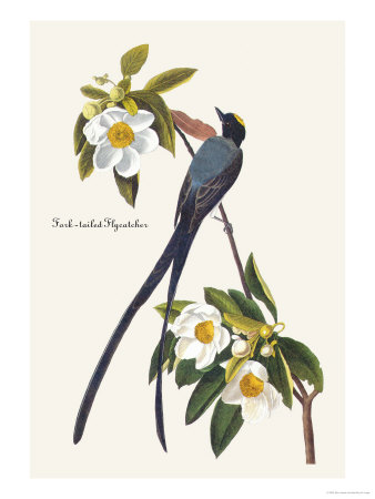 Fork-Tailed Flycatcher Print by John James Audubon