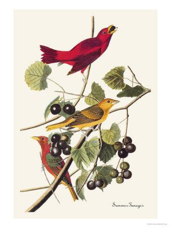 Summer Tanager Art by John James Audubon