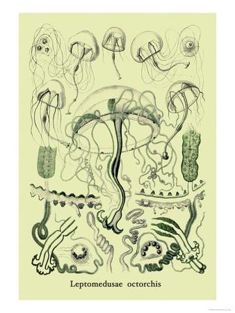 Jellyfish: Leptomedusae Octorchis Prints by Ernst Haeckel