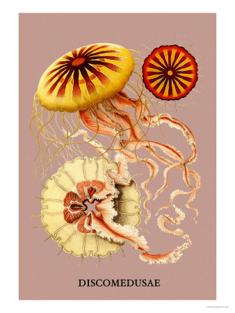 Jellyfish: Discomedusae Poster by Ernst Haeckel