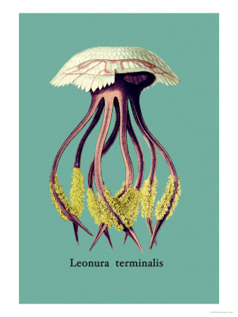 Jellyfish: Leonura Terminalis Art by Ernst Haeckel